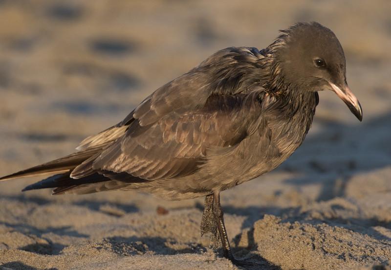 Heerman`s Gull  Ocenaside 2017 09 29-5.jpg