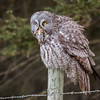 Great Grey Owl - Priddis