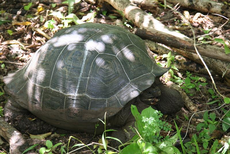 2007-02-22-0013-Galapagos with Hahns-Day 6-Santa Cruz Highlands-Giant Tortoise.JPG