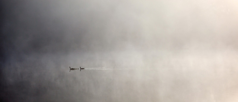 Goose family in the mist