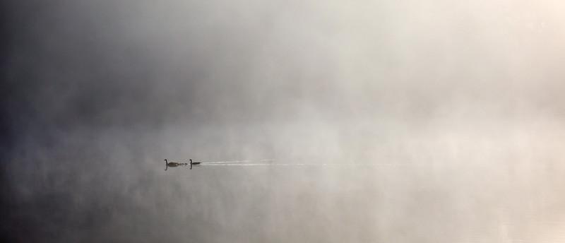 Goose family in the mist