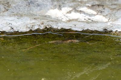 Waterscorpion, Nepidae