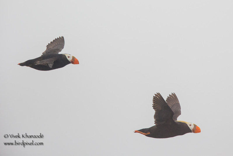 Tufted Puffins -  Farallon National Wildlife Reguge,  CA, USA