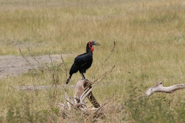 Hornbill Tanzania 2006 2009 2010
