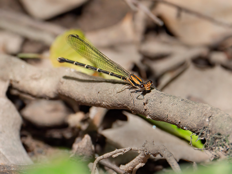 Blue-tipped Dancer (Argia tibialis), Brown Form Female