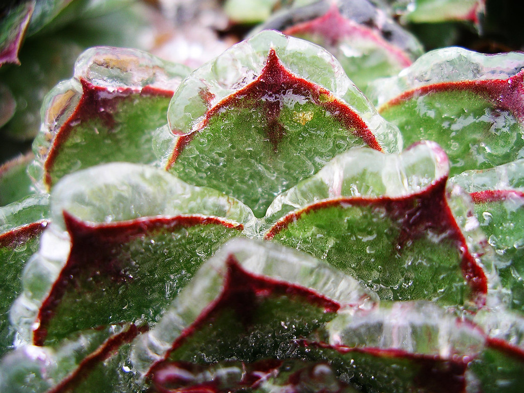 ". WINNER: ""Frozen Hens and Chicks\"" - Gary Reed of Southeast Denver shot the plant that too many gardeners take for granted. Coated in ice, its spiky leaves caught the light.  Photo by Gary Reed"