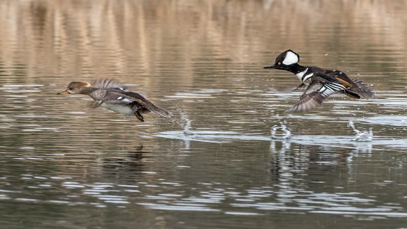 Mergansers Flying