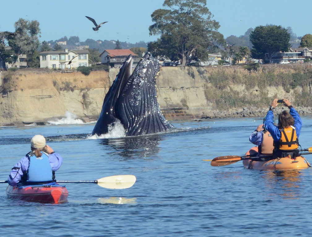 . Attracted by an abundance of anchovies, a group of humpback whales spent several weeks feeding offshore between Capitola and Aptos in late September. This one feeds near a pair of kayakers. (Photo courtesy of Giancarlo Thomae)