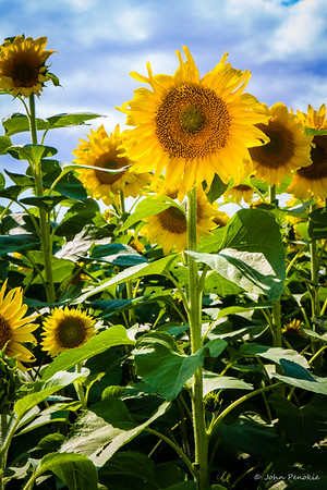 2017-08-05-Sunflower Fields