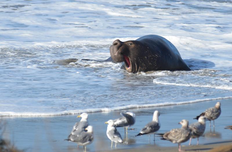 ano-nuevo-elephant-seals-2013 33.jpg