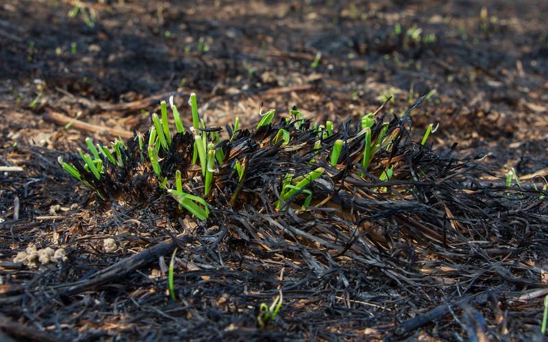 New-life-burned-springfield-bog-metro-park.jpg