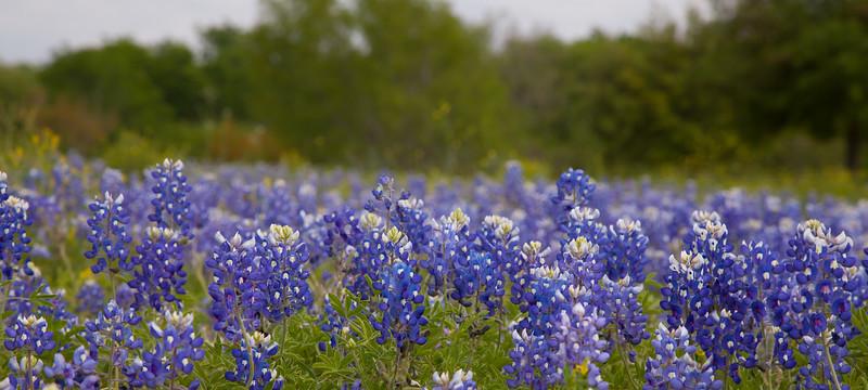 2015_4_3 Texas Wildflowers-7952.jpg