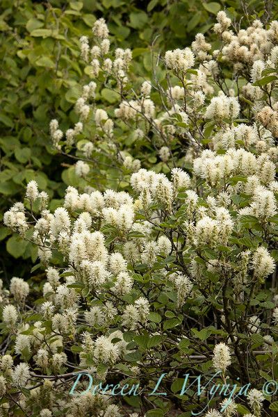 Fothergilla major 'Mount Airy' flowering_1358.jpg
