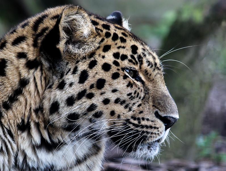 Jane L  ~ Snow Leopard.jpg