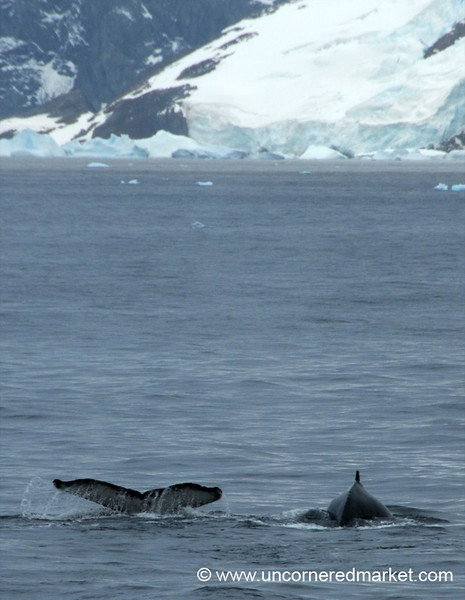 Humpback Whales in Antarctic Waters