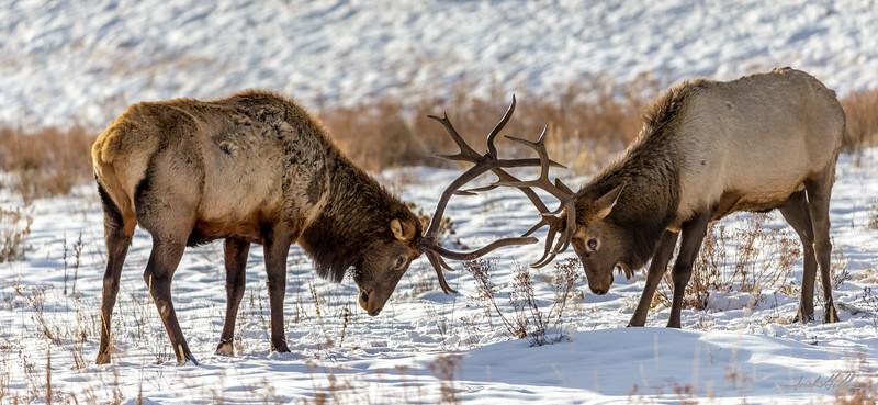 Elk in combat