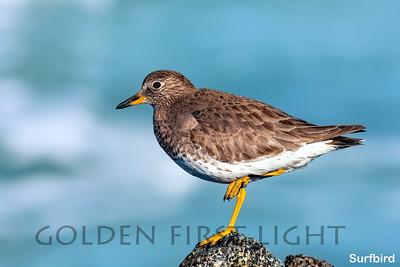 Surfbird, Moss Landing CA, USA