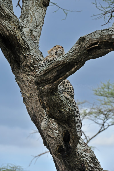 African Leopard (Panthera pardus pardus) on a tree in Ndutu, Ngorongoro conservation area in north Tanzania