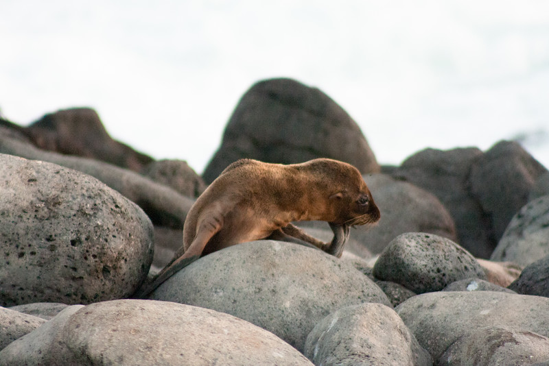 Thinking Sea Lion Pup  : Journey into Genovesa Island in the Galapagos Archipelago