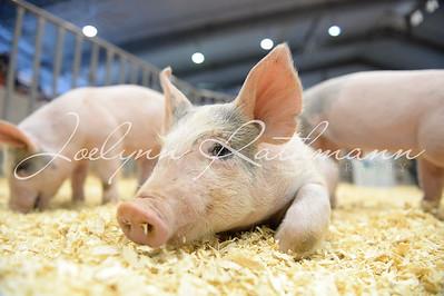 PeeWee Piggy Showmanship