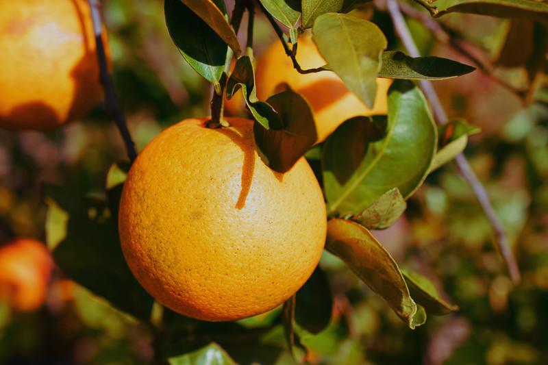 Sunburst Oranges, Central Florida