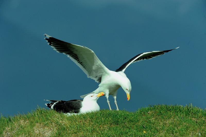 Great Black Backed Gull.JPG