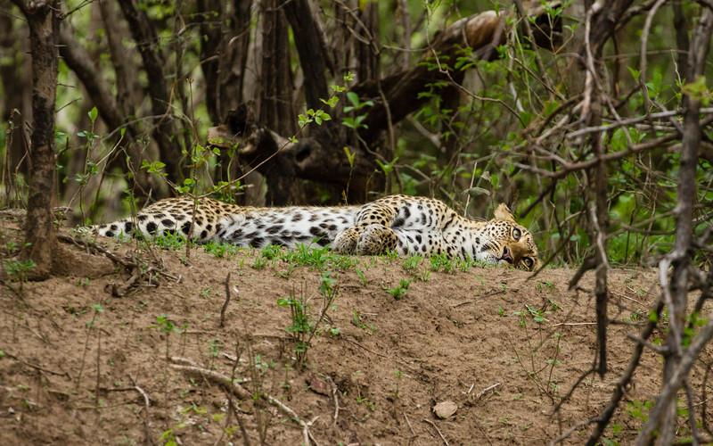 Laid out leopard