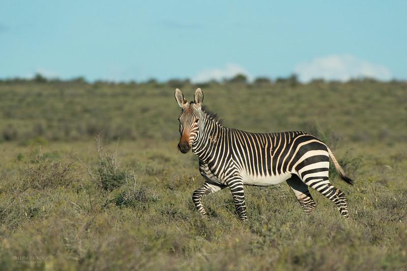 Cape Mountain Zebra, Karoo NP, WC, SA, Jan 2014.jpg