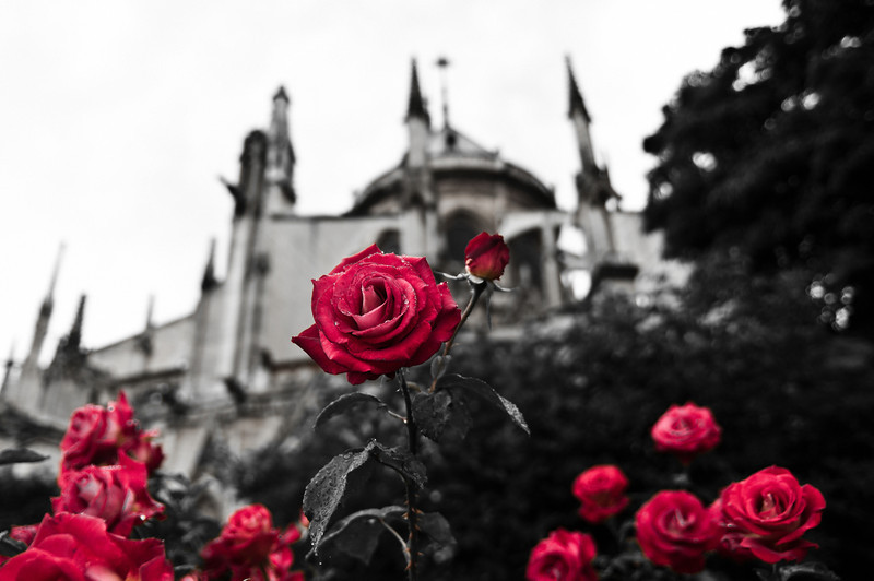Happy Valentines Day - Roses from Notre Dame de Paris, Paris, France.   Saint Valentine's Day, commonly shortened to Valentine's Day,is a holiday observed on February 14 honoring one or more early Christian martyrs named Saint Valentine. It was first established by Pope Gelasius I in 496 AD, and was later deleted from the General Roman Calendar of saints in 1969 by Pope Paul VI.  Notre Dame Cathedral is a Gothic, Roman Catholic cathedral on the eastern half of the Île de la Cité in the fourth arrondissement of Paris, France. It is the cathedral of the Catholic Archdiocese of Paris: that is, it is the church that contains the cathedra (official chair) of the Archbishop of Paris, currently André Vingt-Trois. The cathedral treasury houses a reliquary with the purported Crown of Thorns.
