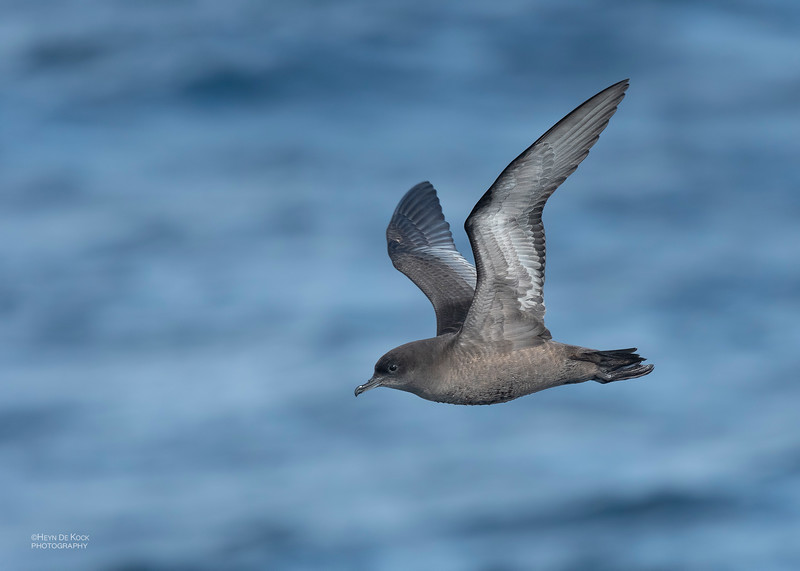 Short-tailed Shearwater, Eaglehawk Neck Pelagic, TAS, Dec 2019-1.jpg