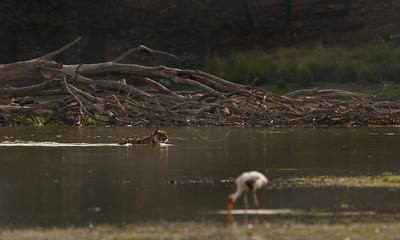 Tiger swimming in a lake