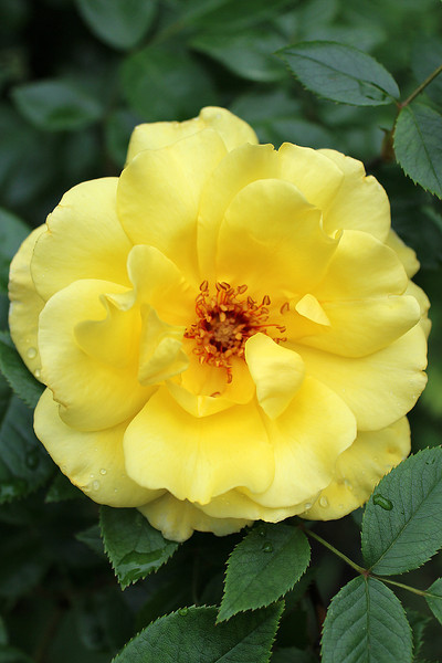 """""""Yellow Rose of 'A'urora"""" - Daily Photo - 07/14/13  Blessed Sunday!"""