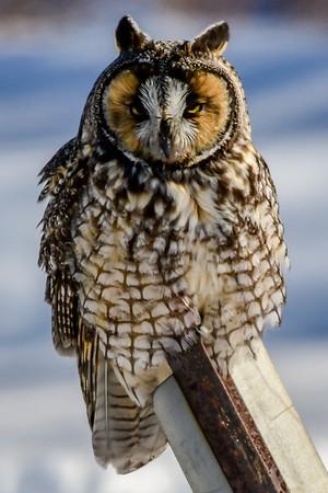 2-27-19 Long-eared Owl