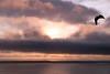 Seagull Flying Through Sunset Clouds on the Central Oregon Coast<br /> July 2009<br /> <br /> Copyright © 2009 Rick Kruer<br /> rickkruer.com<br /> <br /> D200_20090708_2033_DSC_2278-SunsetCloudsSeagullFlying-nice-2.psd