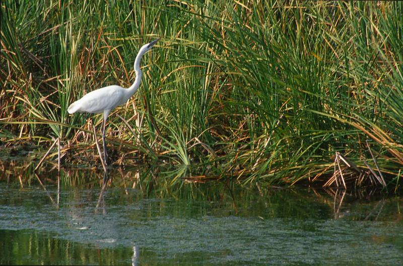 Great White Heron Florida Everglades bird SLIDE SCAN 10.jpg