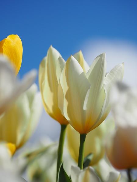 Tulips 01.jpg