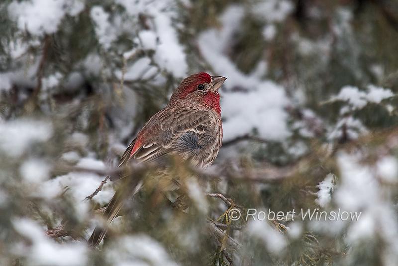 Male, House Finch, Haemorhous mexicanus, La Plata County, Colorado, USA, North America