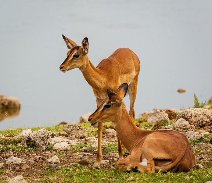 Blackfaced impala at Chudop 4