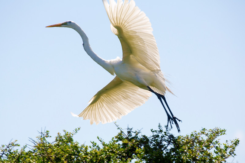 A Great Egret swoops up from a nearby bush.