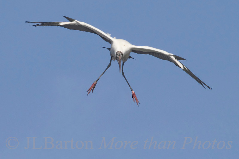 Wood Stork, flaps half, landing gear down, 10 degrees left