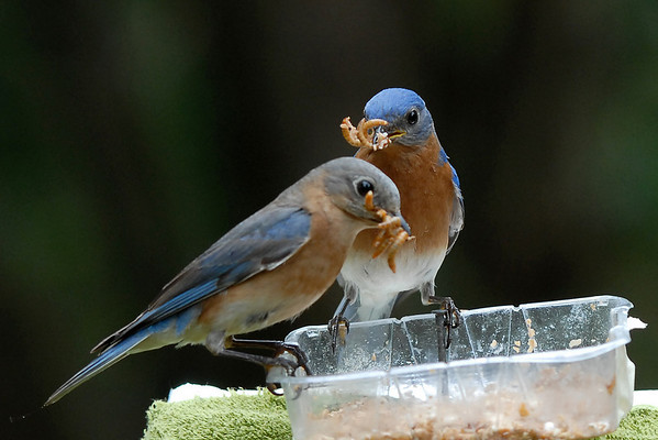 TR's Bluebirds