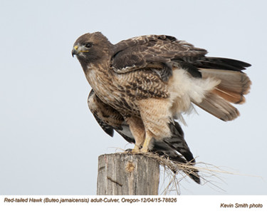 Red-Tailed Hawk A78826.jpg