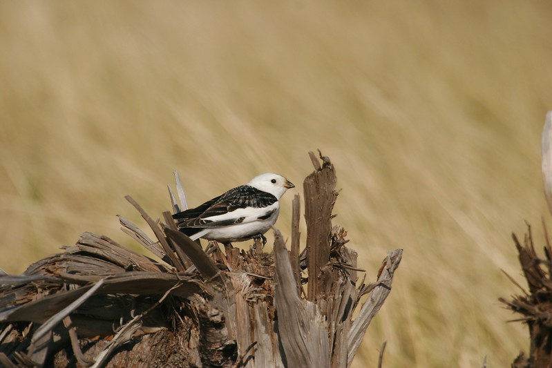 Encountering a Snow Bunting in near breeding plumage south of their arctic breeding range is a rare event [May; Park Point, Duluth, Minnesota]
