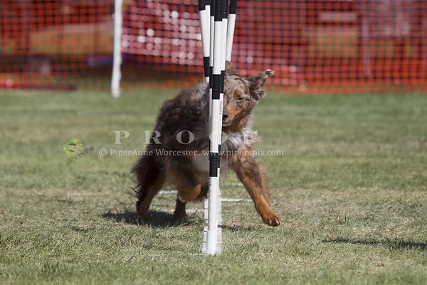 Australian Shepherd_PAW