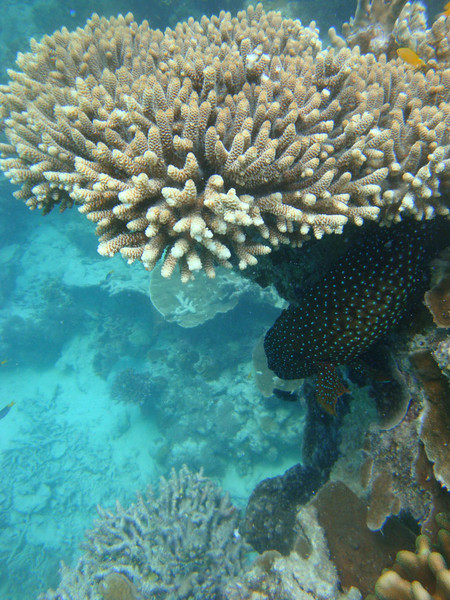Coral with spotted fish.JPG