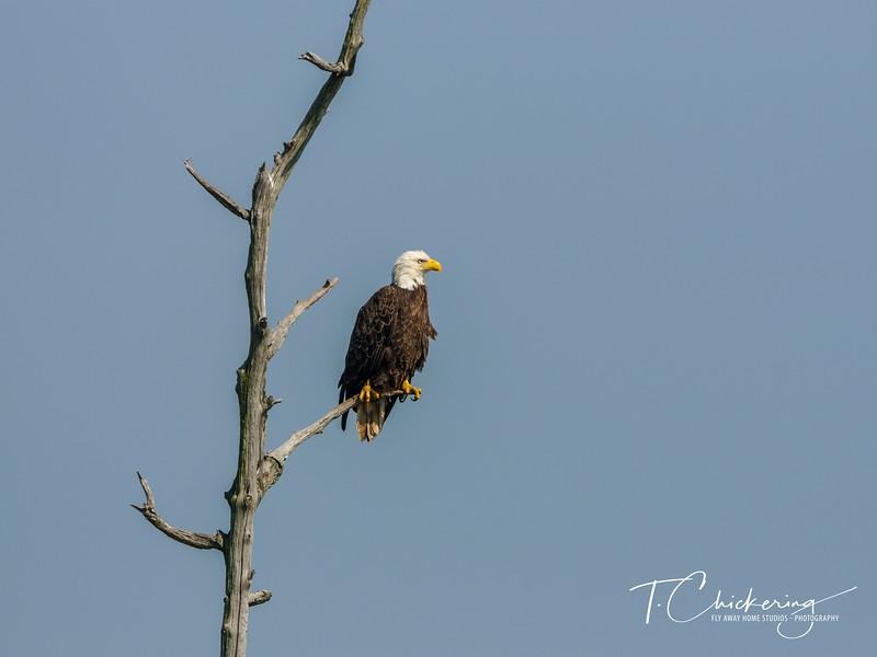 Bald Eagle Perched in Snag Nine-1558396906655.jpg