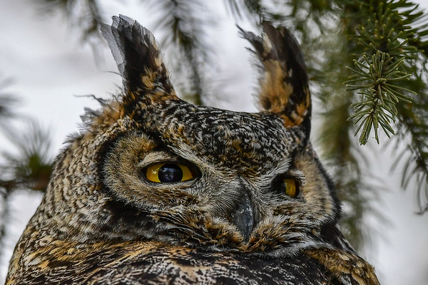 1-31-17 **Great Horned Owl II