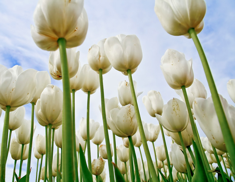 View from the gound of white tulips.