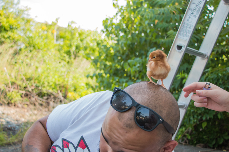 August 16, 2017 Rhode Island Red Chicks with George (1).jpg
