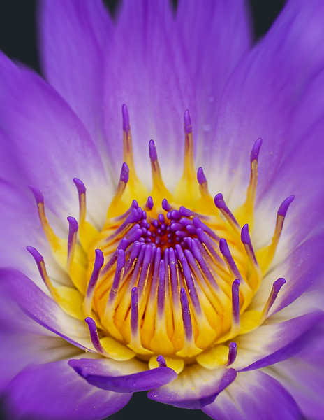 Water Lily Aug09
